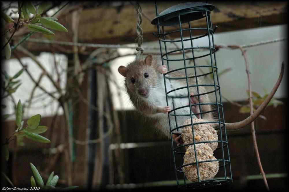 L'intrus - rat