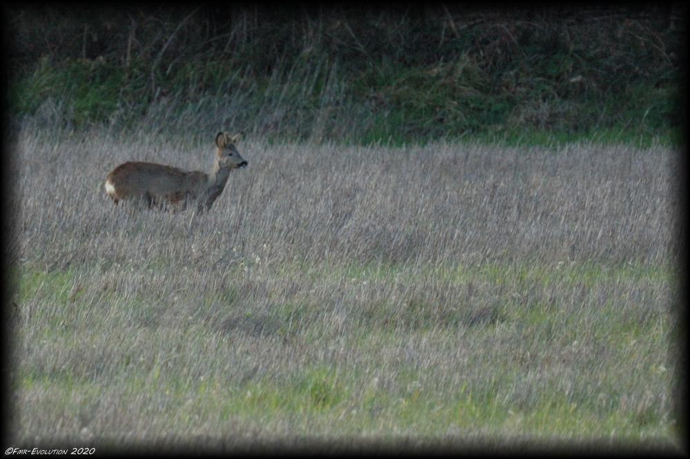 Chevreuil au loin - Ruffigny