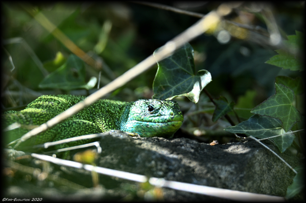 Lézard Vert - Mâle