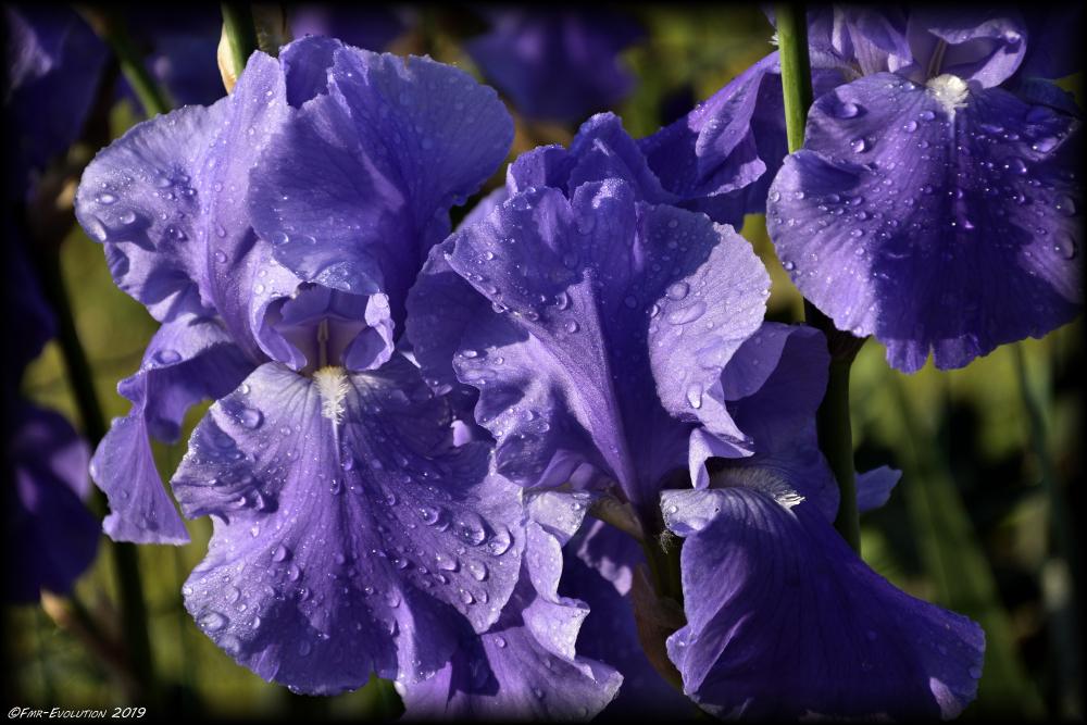 Iris - rosée