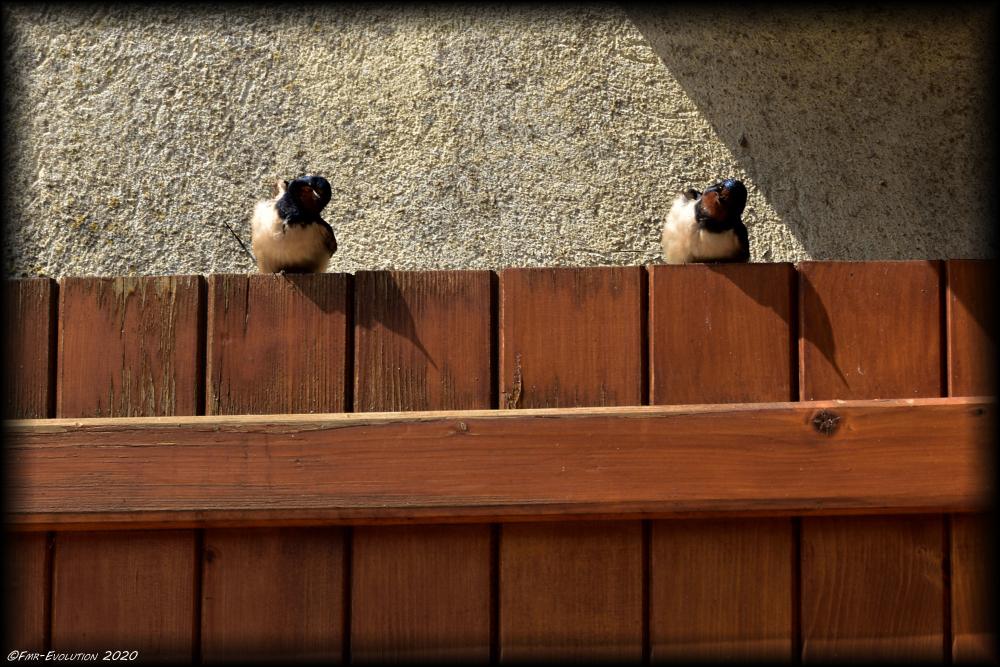 Couple d'hirondelles - Une pause au soleil