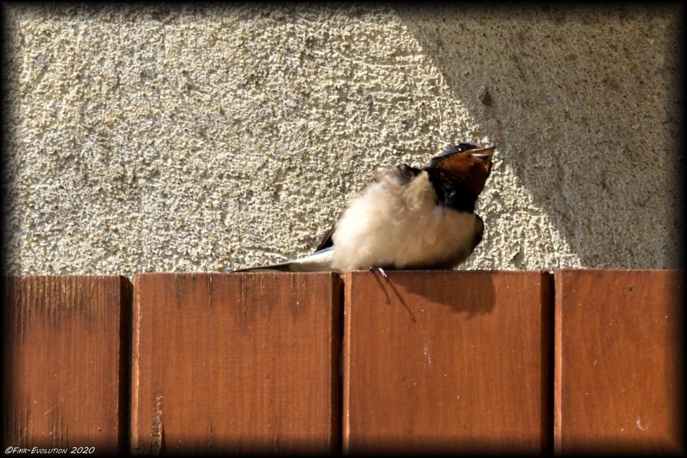 Hirondelle - Une pause au soleil