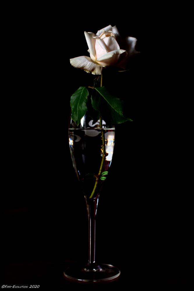 Rose - ombre et lumière