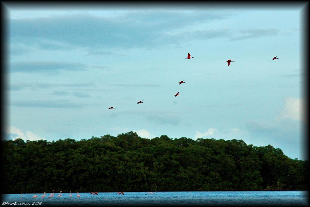 Caroni Swamp - Ibis Rouge