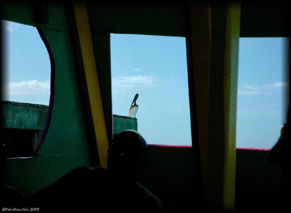 Tobago - Pelican sur un ponton