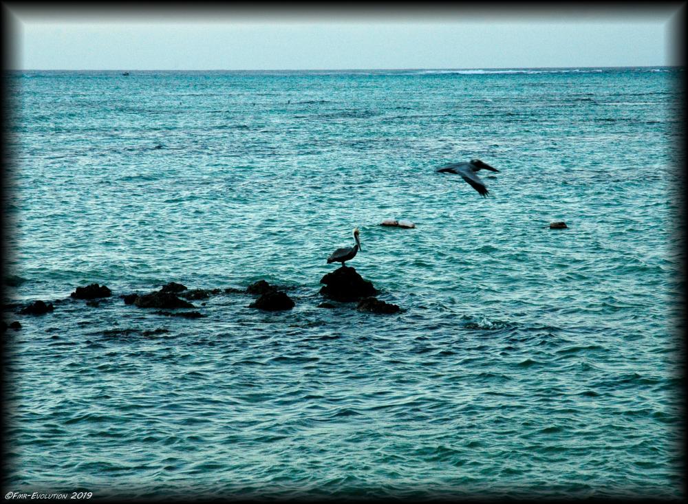 Tobago - Pelicans