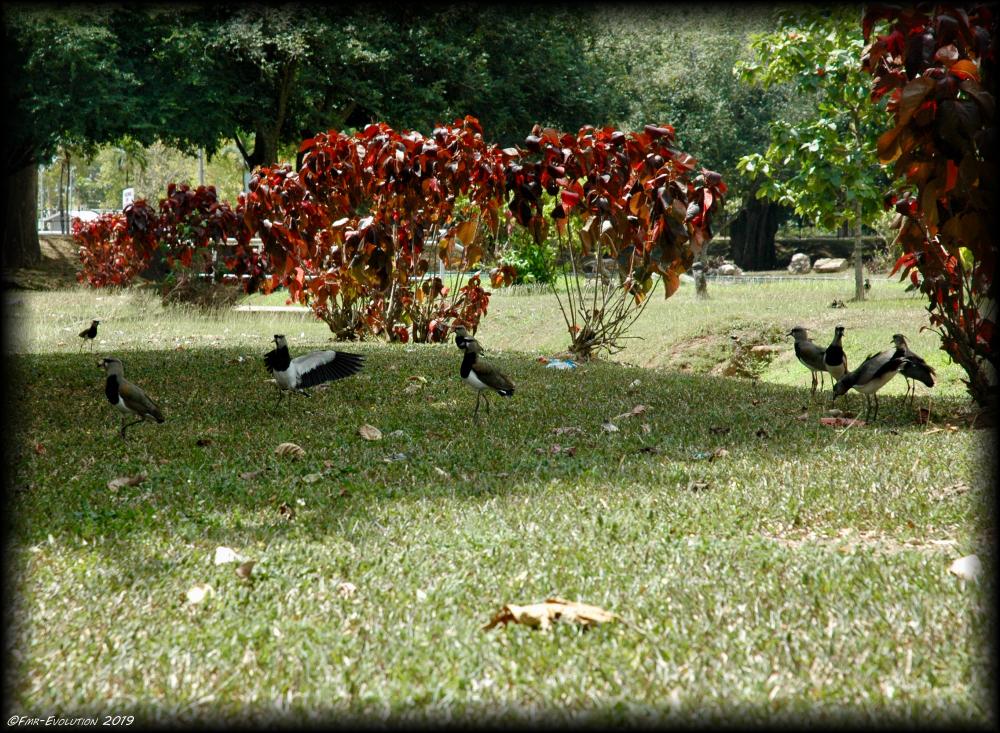 Queen's Park Savannah - Vanneau Tero