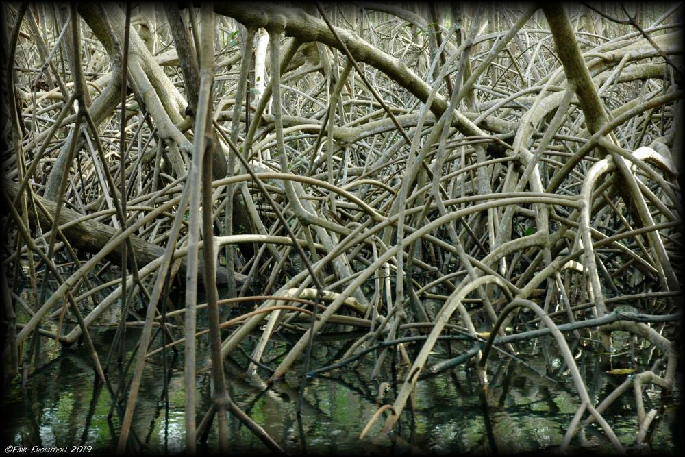 Caroni Swamp - Mangrove