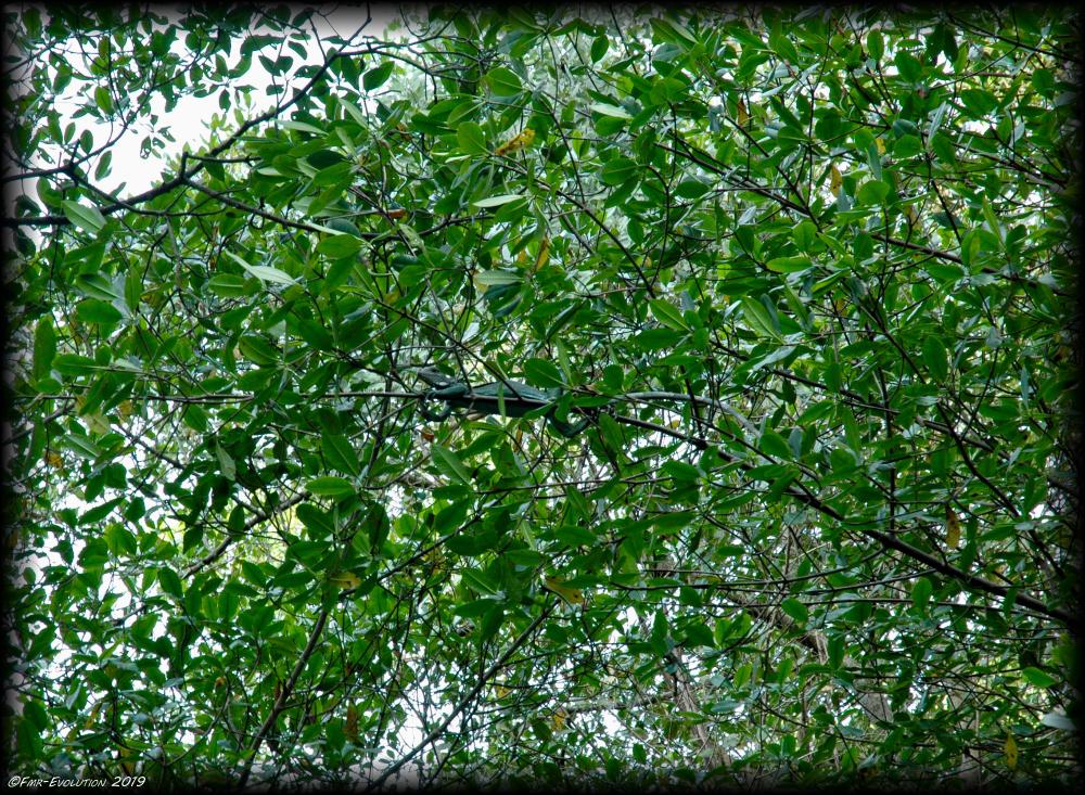 Caroni Swamp - Iguane