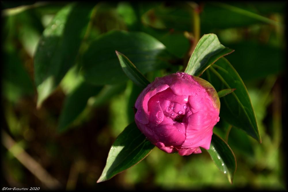 Pivoine - bouton rosée