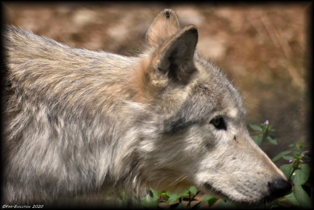 Loup - Gévaudan
