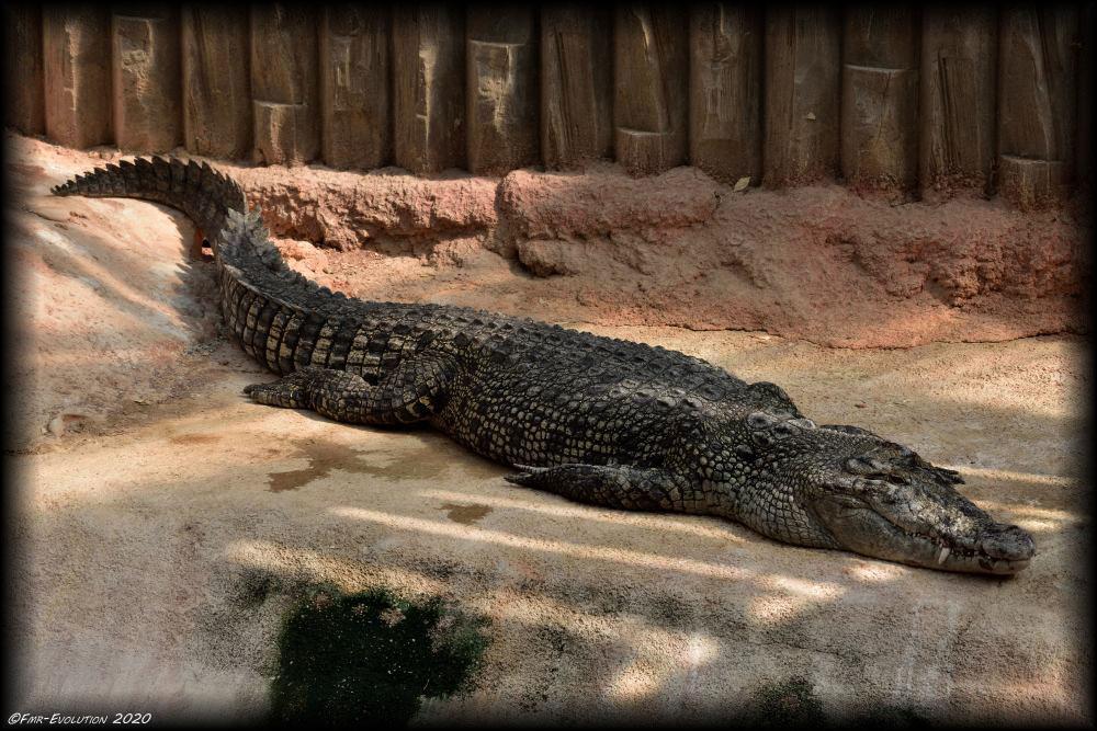 Sieste - Alligator