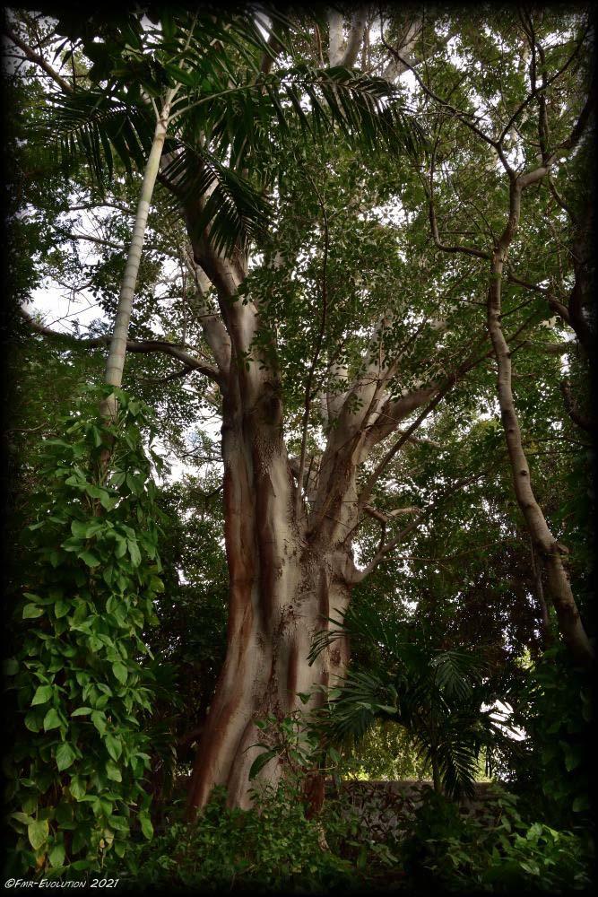 Ficus - Agaete